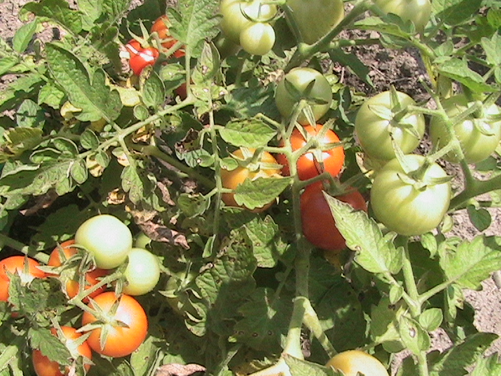 how to get tomatoes to ripen