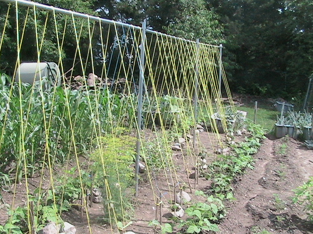 Finished Setup of Bean Trellis Eric s Organic Gardening Blog
