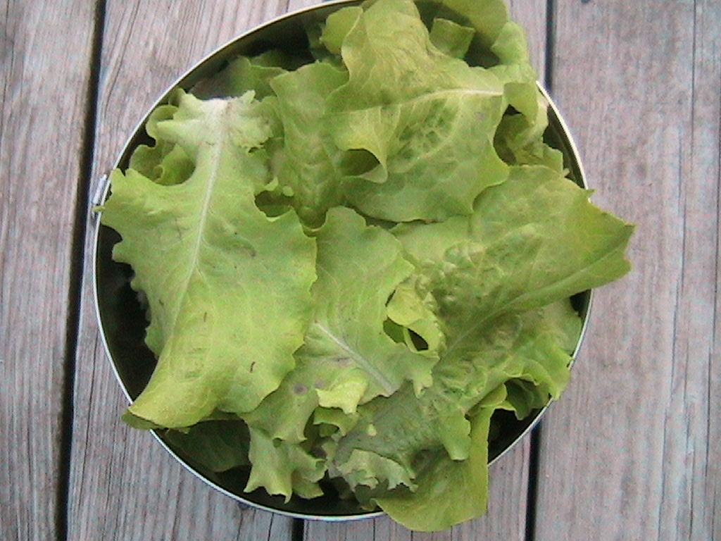 First lettuce harvest of the season eric 39 s organic gardening blog for How to pick lettuce from garden