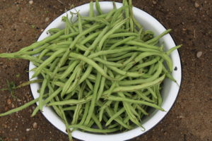 Pole Bean Harvest