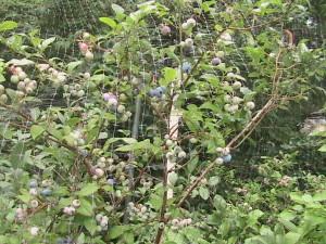 Net Over Blueberries