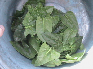 Spinach Harvest