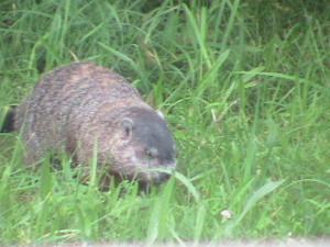 Large Groundhog