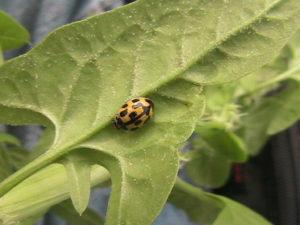 Yellow Lady Beetle