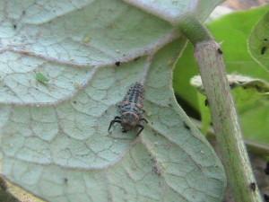Lady Beetle Larvae
